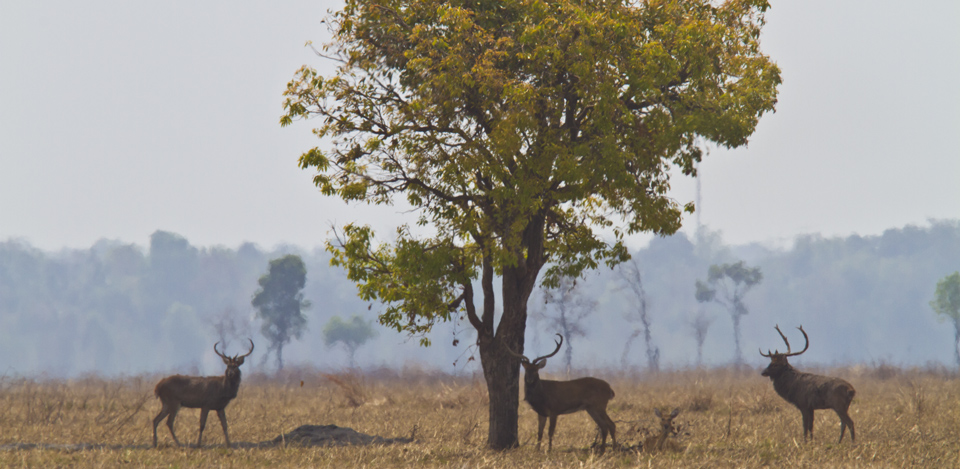 critically endangereddeer ang-trapaeng0thmor